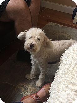 Poodle (Miniature) Mix Dog for adoption in New Port Richey, Florida - Oliver
