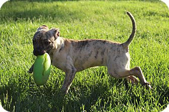 Pug/American Pit Bull Terrier Mix Puppy for adoption in Winchester, Virginia - Bambina