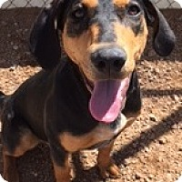 Coonhound Mix Puppy for adoption in Divide, Colorado - Reba