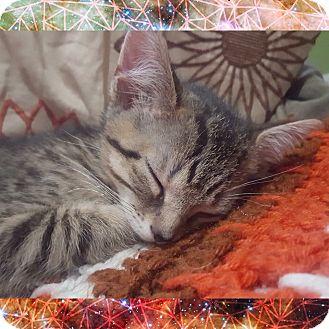 Domestic Shorthair Kitten for adoption in Chesapeake Beach, Maryland - Tigger