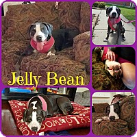 Adopt A Pet :: Jelly Bean - Ft Worth, TX