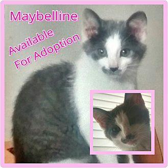 Domestic Shorthair Kitten for adoption in Lexington, Kentucky - Maybelline