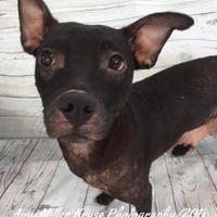 Adopt A Pet :: Precious - Land O'Lakes, FL