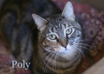Domestic Shorthair/Domestic Shorthair Mix Cat for adoption in West Des Moines, Iowa - Poly