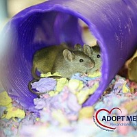 Adopt A Pet :: Gus - Alexandria, VA