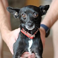 Adopt A Pet :: Charly - Glendale, AZ