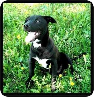 American Pit Bull Terrier Mix Dog for adoption in Lawton, Oklahoma - BOLERO