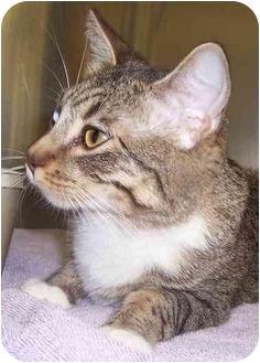 Domestic Shorthair Cat for adoption in Oklahoma City, Oklahoma - Bob