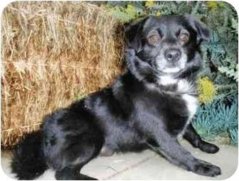 Spaniel (Unknown Type)/Pomeranian Mix Dog for adoption in Encino, California - ROWLEY