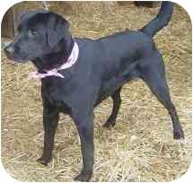 Labrador Retriever Mix Dog for adoption in Salem, Massachusetts - Emmy