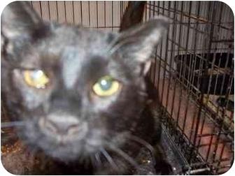 Domestic Shorthair Cat for adoption in East Stroudsburg, Pennsylvania - Sherlock