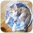 Photo 1 - Calico Kitten for adoption in Taylor Mill, Kentucky - Avery