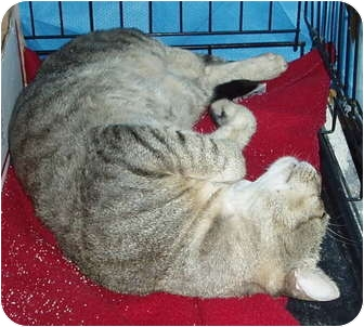 Domestic Shorthair Cat for adoption in Westfield, Massachusetts - Nemo