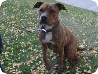 American Pit Bull Terrier Mix Dog for adoption in Medicine Hat, Alberta - Venice