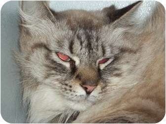 Domestic Longhair Cat for adoption in Lapeer, Michigan - Didi-SPONSORED & VERY URGENT!!