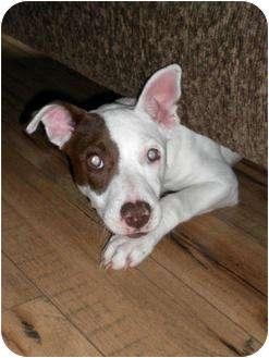 Italian Greyhound Mix Dog for adoption in Humble, Texas - Dee