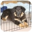 Photo 2 - Great Pyrenees/Bernese Mountain Dog Mix Puppy for adoption in Marlton, New Jersey - Spencer, Nigel and Buster