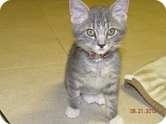 Domestic Shorthair Kitten for adoption in Fort Collins, Colorado - SNEAKERS