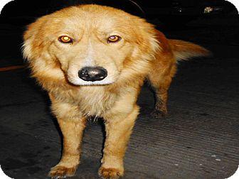 Golden Retriever Mix Dog for adoption in San Diego, California - Sam