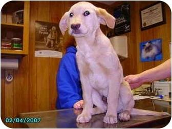 Golden Retriever/Labrador Retriever Mix Dog for adoption in Yorkville, Tennessee - Lester