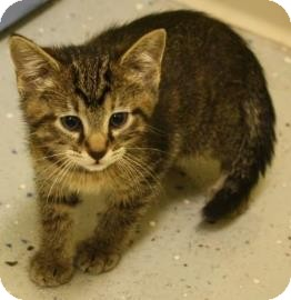 Domestic Shorthair Kitten for adoption in West Des Moines, Iowa - Johnny