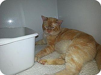 Siamese Cat for adoption in Iroquois, Illinois - Blade
