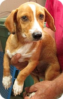 Dachshund Mix Dog for adoption in Woodlyn, Pennsylvania - Lightening