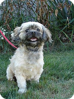 Shih Tzu Mix Dog for adoption in South Haven, Michigan - Bugsy