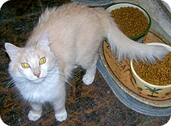 Domestic Mediumhair Cat for adoption in Scottsdale, Arizona - Gypsy Rose
