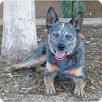 Adopt A Pet :: Silver Bullet *Adoption Pend* - Phoenix, AZ