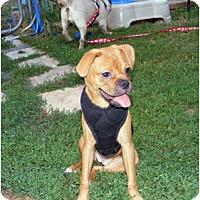Adopt A Pet :: JOY - Warren, NJ