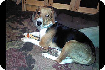 Beagle Mix Dog for adoption in Seville, Ohio - Echo