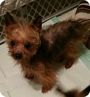 Yorkie, Yorkshire Terrier Dog for adoption in Hurst, Texas - Little John