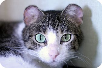Domestic Shorthair Cat for adoption in Chicago, Illinois - Flower Purrs