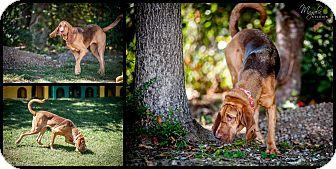 Bloodhound Dog for adoption in Greenville, South Carolina - Caroline