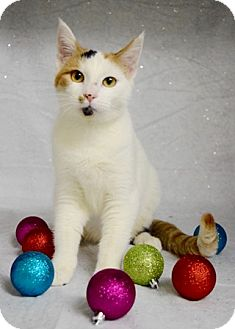 Domestic Shorthair Cat for adoption in Dublin, California - Emma