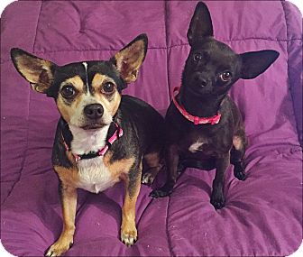 Chihuahua Mix Dog for adoption in Las Vegas, Nevada - PRECIOUS and MIDNIGHT BLUE