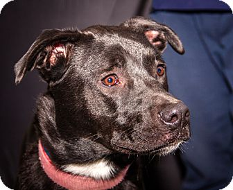 Labrador Retriever/American Staffordshire Terrier Mix Dog for adoption in Martinsville, Indiana - Nova