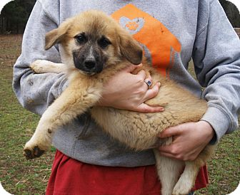Great Pyrenees Mix Puppy for adoption in Stamford, Connecticut - Clementine