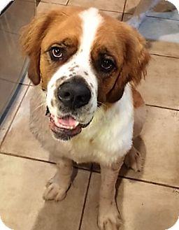 St. Bernard Dog for adoption in McKinney, Texas - Daisy Mae