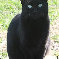 Domestic Shorthair Cat for adoption in Morehead, Kentucky - Shade YOUNG MALE