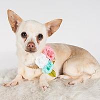 Adopt A Pet :: Queso - St. Louis Park, MN