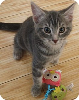 Domestic Shorthair Kitten for adoption in Buhl, Idaho - Pixie