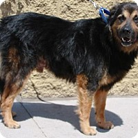 German Shepherd Dog/Australian Shepherd Mix Dog for adoption in Gilbert, Arizona - Bear