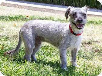Havanese/Terrier (Unknown Type, Medium) Mix Dog for adoption in Encino, California - Pappy