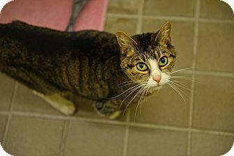 Domestic Shorthair Cat for adoption in Gardnerville, Nevada - Sophie