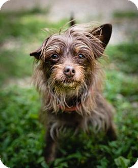 Yorkie, Yorkshire Terrier/Poodle (Miniature) Mix Dog for adoption in Fairfax, Virginia - Lexi