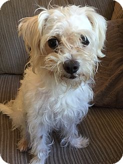 Maltese/Poodle (Miniature) Mix Dog for adoption in HAGGERSTOWN, Maryland - JADA