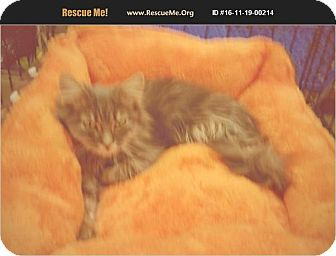Maine Coon Kitten for adoption in Madison, Tennessee - Blake loves kids!