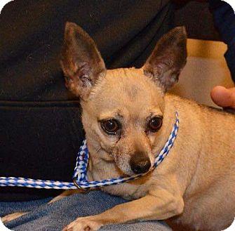 Chihuahua Dog for adoption in Dayton, Ohio - Dolly - South Range, MI